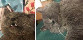 Dalam Semalam Kawin dengan 5 Betina, Kucing Ini Kelelahan Kehabisan Tenaga