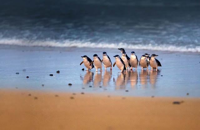 Penguin Parade Phillip Island Tour