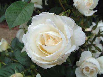 white rose wallpaper pinterest