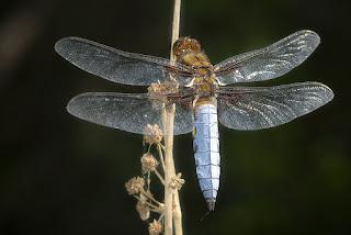 Para ampliar Libellula depressa (Linnaeus, 1758) Libélula de vientre plano hacer clic