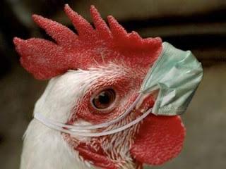 Cara mengobati ayam lemas seperti mengantuk alias snot