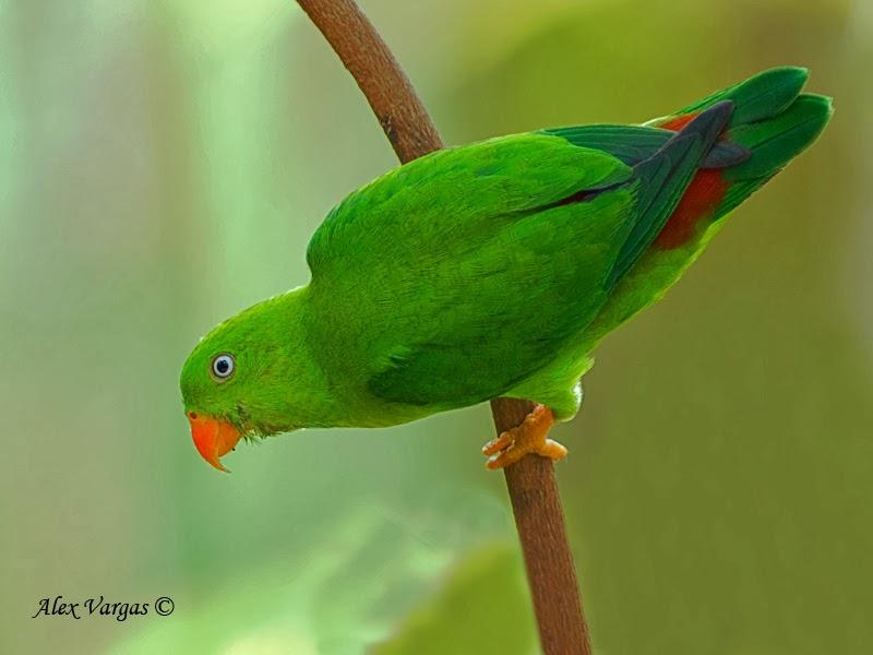 Malay Hanging Parrot Burung Serindit December 2013