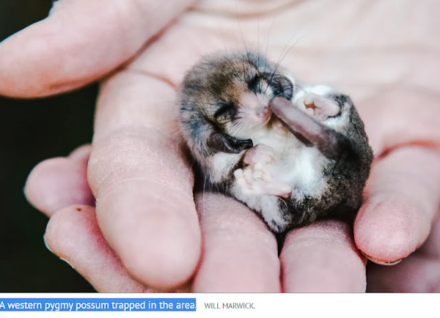 A western pygmy possum trapped in the area of proposed killing of feral cats