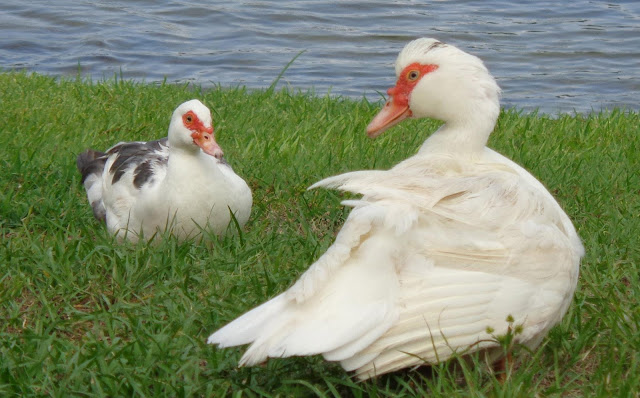 Female Muscovy ducks