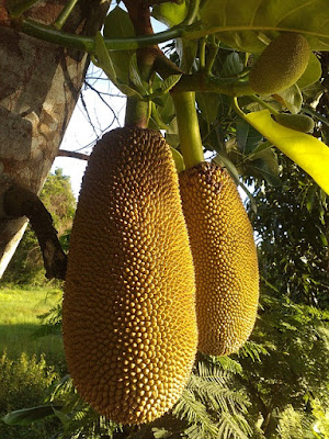 Jackfruit Benefits and Side Effects