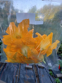 Bag with six yellow squash blossoms