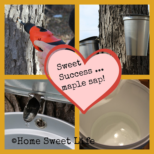 Maple tree sap, TapMyTrees, maple sugaring