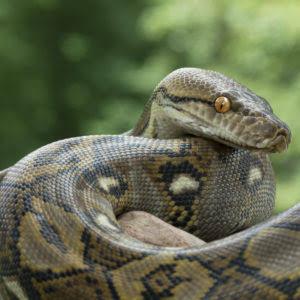 Mengenal si panjang sanca kembang (Reticulated Python)
