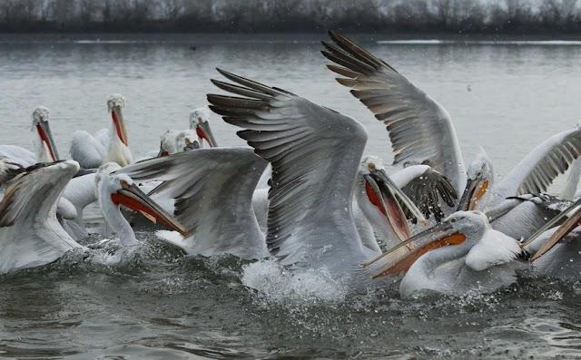 Αργυροπελεκάνοι της λίμνης Κερκίνης έχουν τον ιό της γρίπης των πτηνών