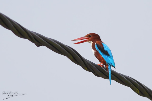 White-throated Kingfisher - on electric wire