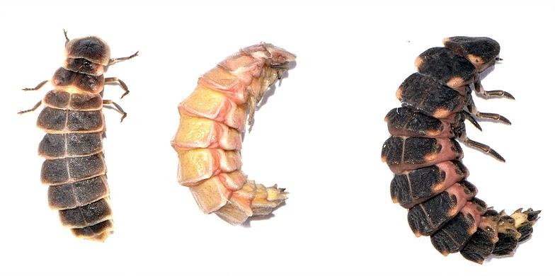 Vaga-Lume (Lampyris noctiluca)