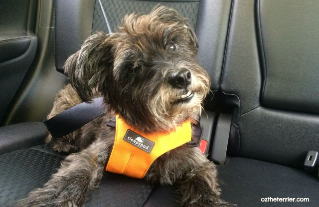 Oz wears Sleepypod Clickit Sport pet travel harness for safety