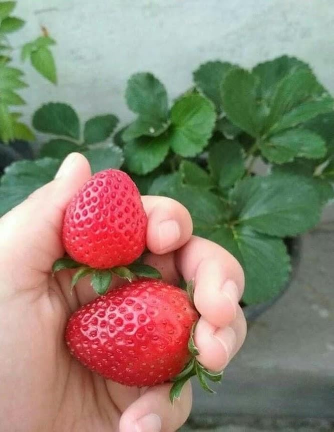 promo murah Bibit Strawberry Jumbo Holland Tanjungpinang