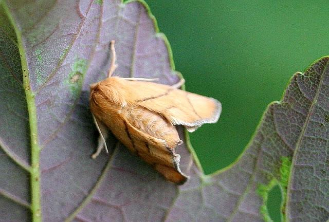 Großer Schneckenspinner, Apoda limacodes