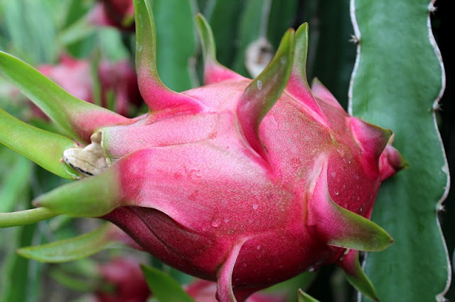 "Dragon fruit – A wonderful ""fire ball"" 3"