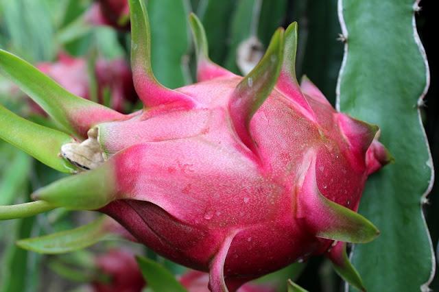 "Dragon fruit – A wonderful ""fire ball"" 3"