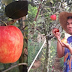 First Apple Tree To Grow In The Philippines Is Now A Social Media's Interest