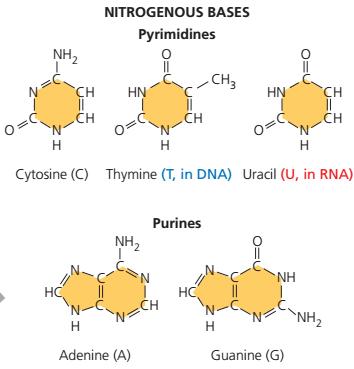 Perbedaan purin dan pirimidin, sitosin (C), timin (T), dan urasil (U) adenin (A) dan guanin (G)