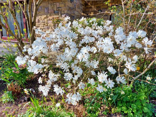 White Magnolia stellata flowers