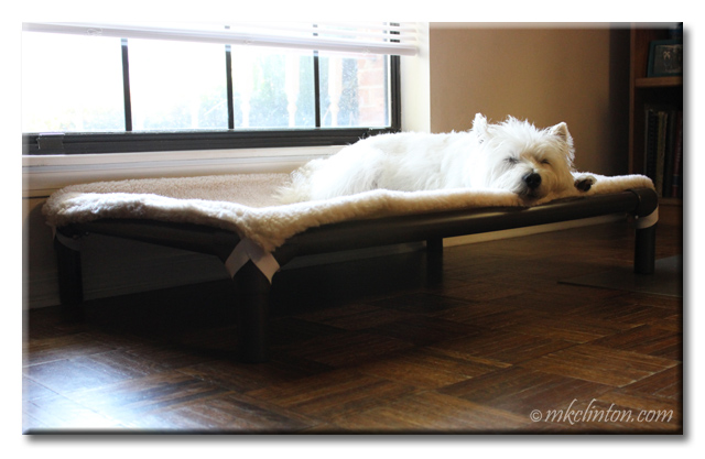 Pierre Westie sleeping on Kuranda Dog Bed