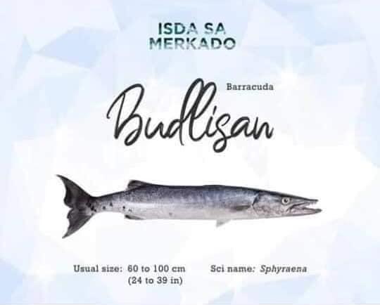 Isda Budlisan (Barracuda)