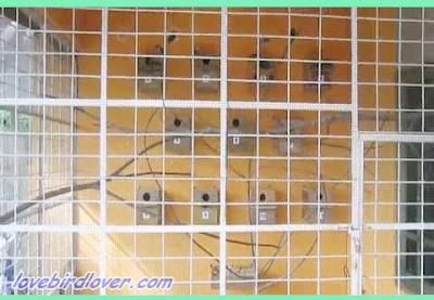 Berternak lovebird ketika ini merupakan sebuah hobi yang sudah dapat dijadikan bisnis Sukses Dalam Burung Lovebird Kelebihan dan Kekurangan Kandang Koloni