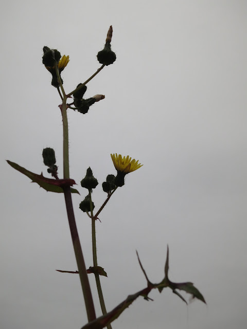 Sow thistle on the wall flowers open on a grey spring day - May 31st 2015.