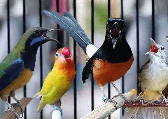 cara memaster burung kicauan yang benar dan efektif
