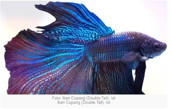 Ikan Cupang Double Tail, salah satu menjadi incaran penikmat cupang