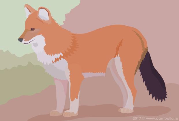 Красный волк - большая картинка