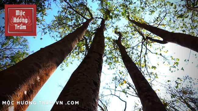 Chiều cao của cây trầm hương có thể phát triên lên đến 40m