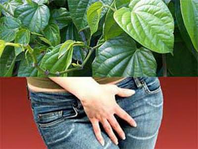 Khasiat daun sirih untuk obat keputihan