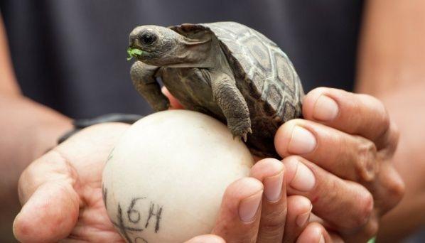 En las Islas Galápagos, después de 100 años vuelven a nacer tortugas