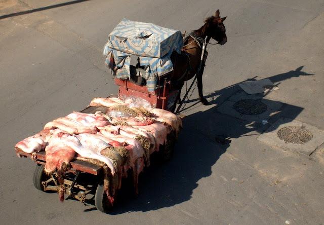 Maroko Eid el Kebir. Wełna z barana