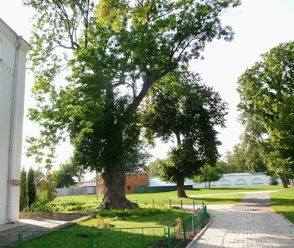 Чернігів. Єлецький Успенський монастир. Старе дерево біля Успенського собору