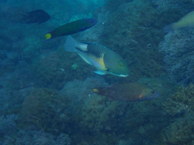 Choerodon anchorago