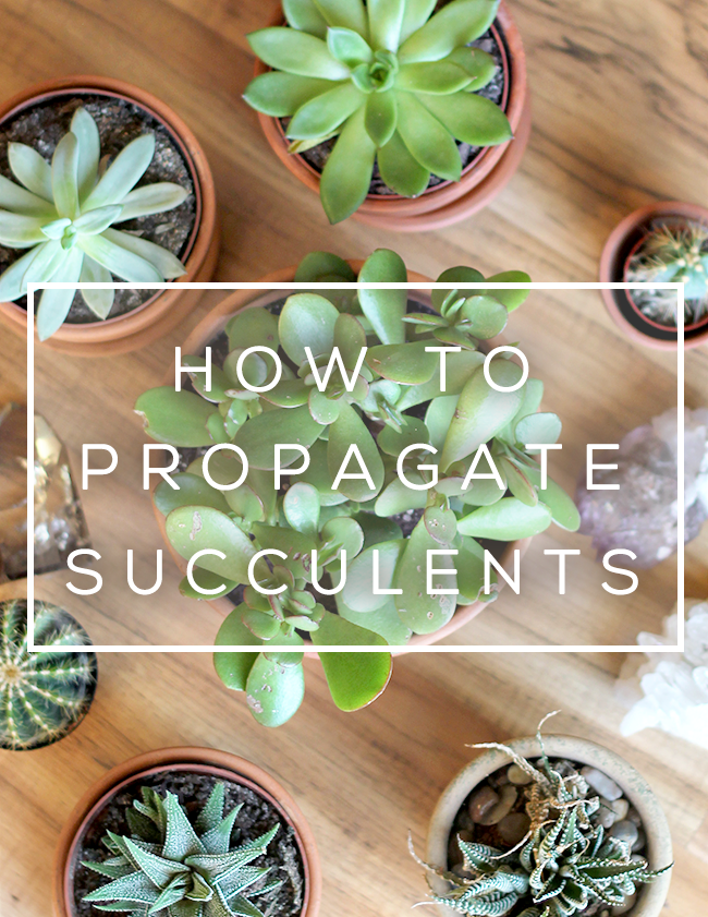 How to Propagate Succulents (+ Make DIY Succulent Garden Gifts!) // via Bubby and Bean