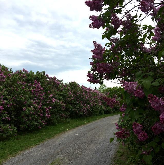 Lane of lilac trees.