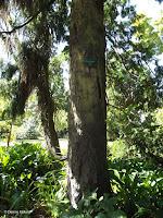 Rimu tree, native to New Zealand - Christchurch Botanic Gardens, New Zealand