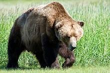 الدب البنى Ursus arctos
