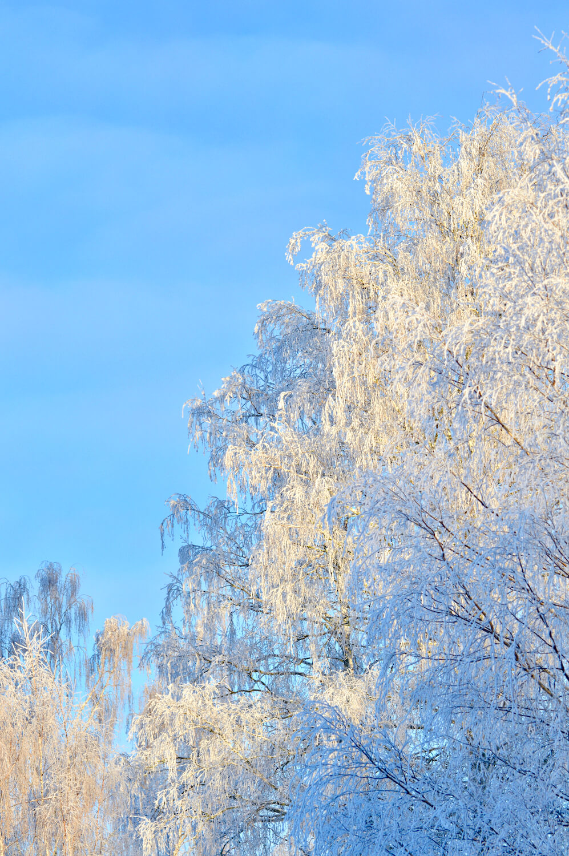 huurrekuorrutus-koivu-talvi-lumi-aurinko
