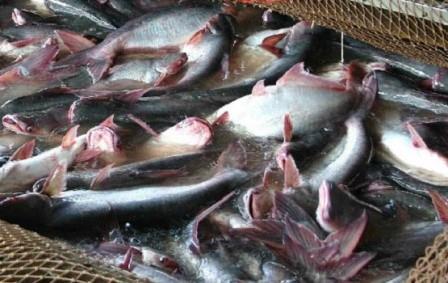 Cara Budidaya Ikan Patin dengan Mudah