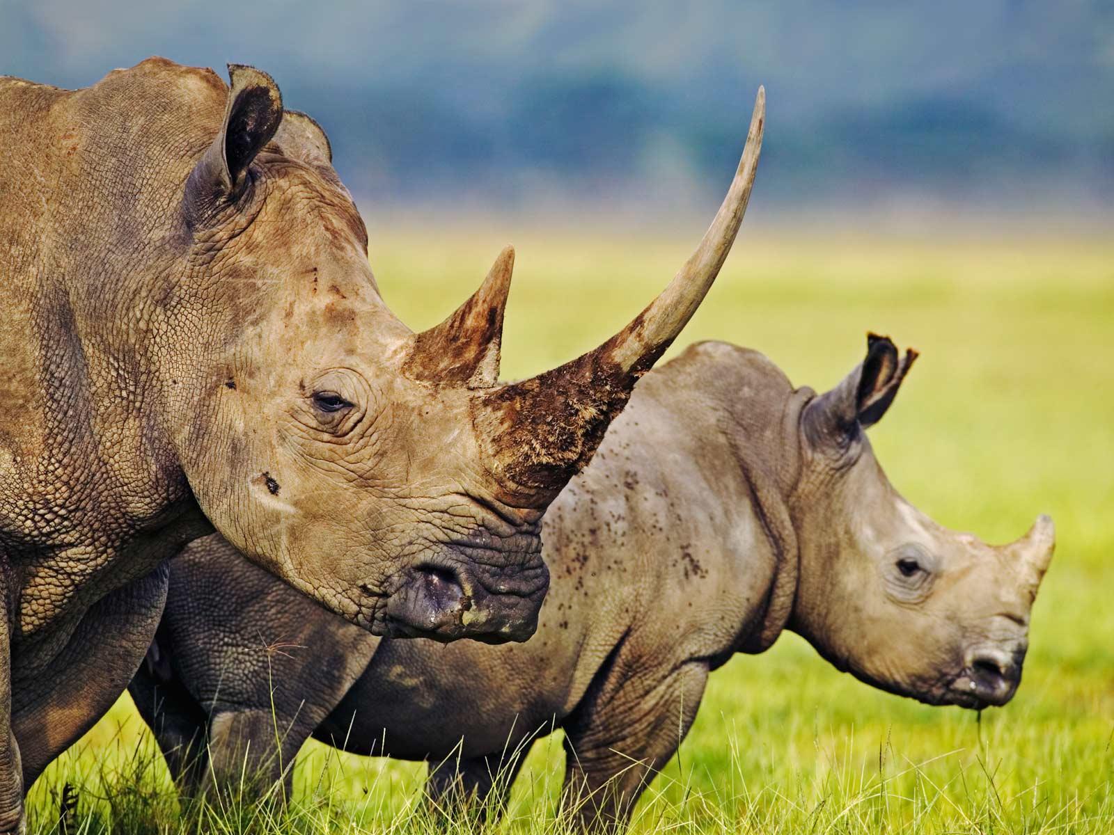 hd wallpaper rhino   dwitongelu