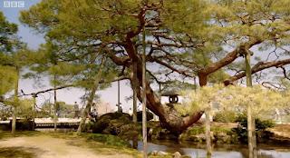 Karasaki Pine Tree