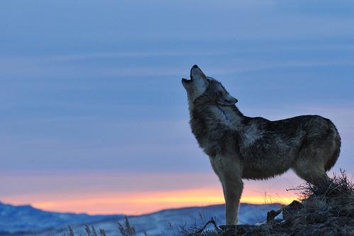 Breaking Dawn Wallpaper Hd White Wolf Sweden Cancels 2012 Wolf Hunt