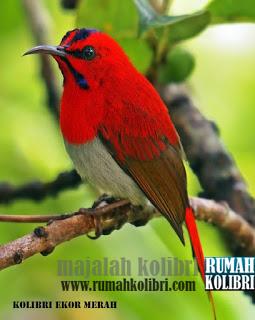 kolibri ferari ekor merah