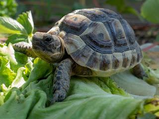makanan-kura-kura-hermani.jpg