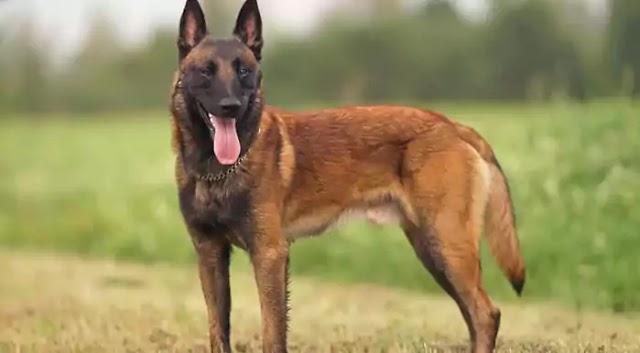 Belgian Malinois Dog Breed Info: Price, Characteristics, Aggressiveness & Facts