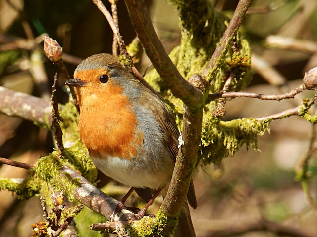 Robin bird with red breast