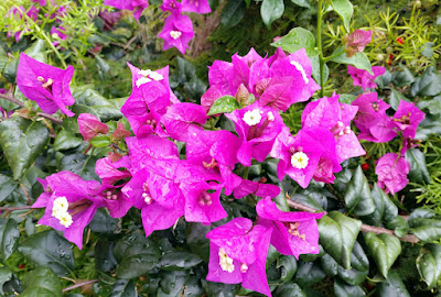Close up of cluster of bougainvillea dlowers